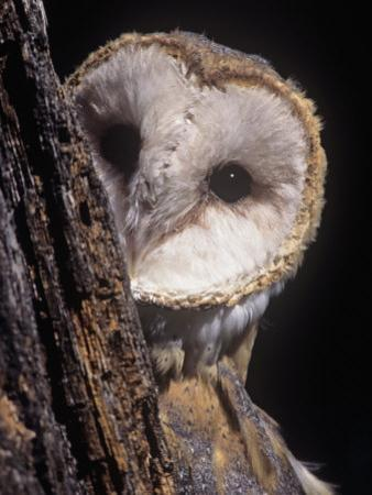 Barn Owl Face Peering from Behind a Tree Trunk, Tyto Alba, a Threatened Species, North America by Joe McDonald