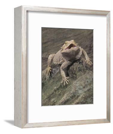 Bearded Dragon, Pogona Barbata, Formerly Amphibolurus Barbatus, Threat Display, Australia