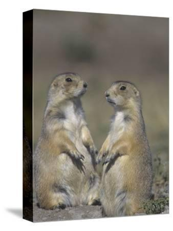Black-Tailed Prairie Dogs Near the Opening to their Burrow, Cynomys Ludovicianus, Western USA