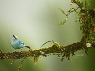 Blue-Gray Tanager (Thraupis Episcopus), Arenal Volcano, Costa Rica