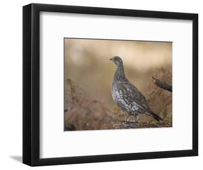 Blue Grouse, Dendragapus Obscurus, Western North America