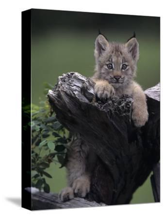 Canadian Lynx Kitten, Lynx Canadensis, North America