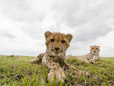 Cheetah Cub with its Mother (Acinonyx Jubatus), Masai Mara, Kenya by Joe McDonald
