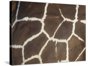 Close-Up of Reticulated Giraffe Skin and Color Pattern, Giraffa Camelopardalis, East Africa by Joe McDonald