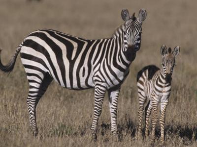 Common Zebra Mother and its Baby, Equus Burchellii, Masai Mara, Kenya, Africa
