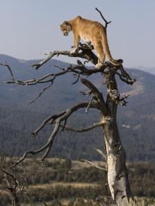 Cougar in a Tree by Joe McDonald