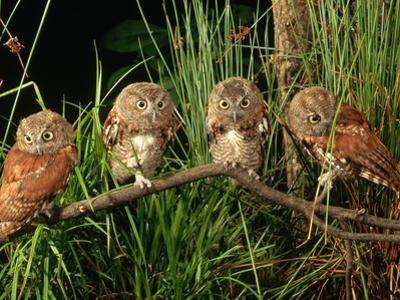 Eastern Screech Owl Fledglings by Joe McDonald