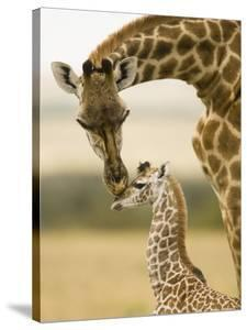 Female Masai Giraffe with Young by Joe McDonald