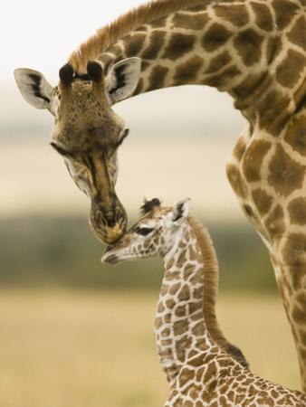 Female Masai Giraffe with Young by Joe McDonald