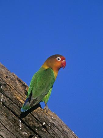 Fischer's Lovebird, Agapornis Fischeri, Serengeti National Park, Tanzania, Africa by Joe McDonald