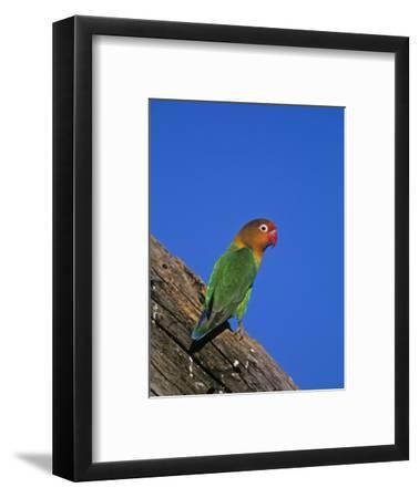 Fischer's Lovebird, Agapornis Fischeri, Serengeti National Park, Tanzania, Africa