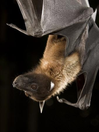 Giant Fruit Bat by Joe McDonald