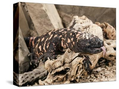 Gila Monster with Extended Forked Tongue (Heloderma Suspectum), Arizona, USA, Captivity