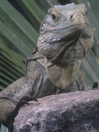 Grand Cayman Blue Iguana, Cyclura Nubila Lewisi, an Endangered Species, Grand Cayman Island