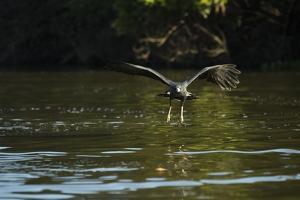 Great Black Hawk by Joe McDonald