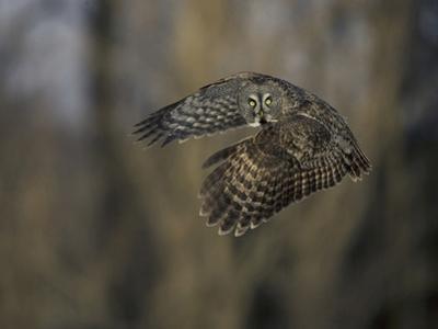 Great Gray Owl Flying at Dusk (Strix Nebulosa), North America by Joe McDonald
