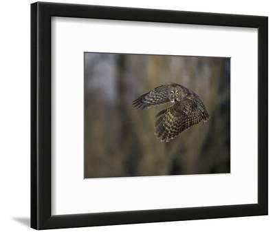 Great Gray Owl Flying at Dusk (Strix Nebulosa), North America