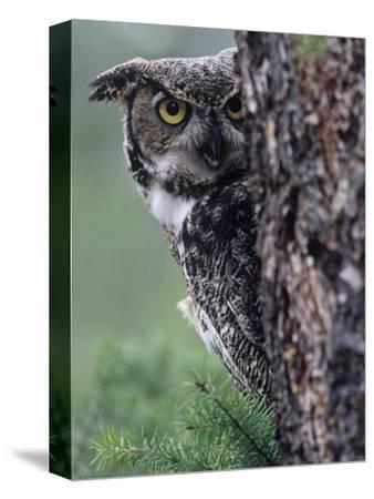 Great Horned Owl Peering from Behind a Tree Trunk (Bubo Virginianus), North America