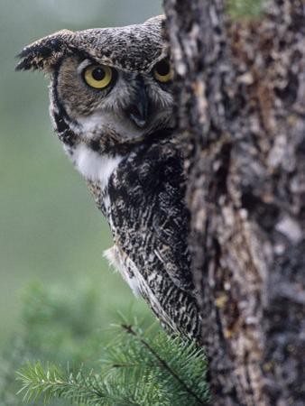 Great Horned Owl Peering from Behind a Tree Trunk (Bubo Virginianus), North America by Joe McDonald