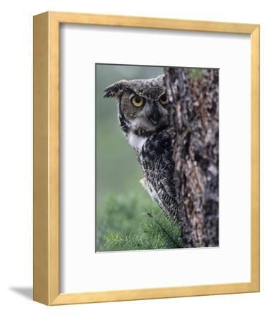 Great Horned Owl Peering from Behind a Tree Trunk (Bubo Virginianus), North America