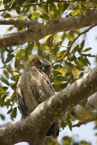 Great Horned Owl by Joe McDonald