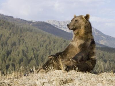 Grizzly Bear, Ursus Arctos, Western North America by Joe McDonald