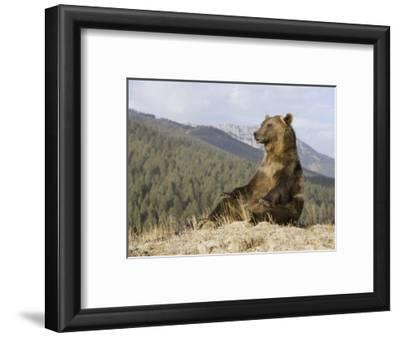 Grizzly Bear, Ursus Arctos, Western North America