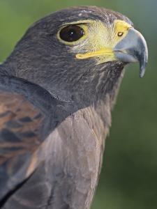 Harris Hawk Head, Parabuteo Unicinctus, Southwestern North America by Joe McDonald