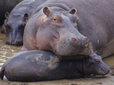 Hippopotamus, Hippopotamus Amphibius, Adult with its Young or Calf, Masai Mara, Kenya, Africa by Joe McDonald