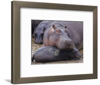 Hippopotamus, Hippopotamus Amphibius, Adult with its Young or Calf, Masai Mara, Kenya, Africa