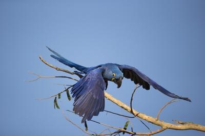 Hyacinth Macaw by Joe McDonald