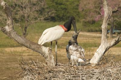 Jabiru Stork by Joe McDonald