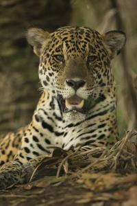 Jaguar by Joe McDonald