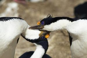 King Cormorant by Joe McDonald