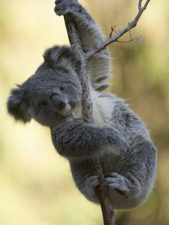 Koala (Phascolarctos Cinereus) in a Eucalyptus Tree by Joe McDonald