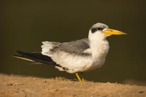 Large-Billed Tern by Joe McDonald