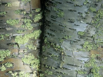 Lichens Growing on the Bark of Paper Birch Trees, Betula Papyrifera, USA