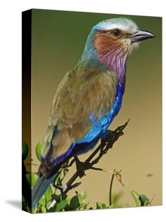 Lilac-Breasted Roller, Coracias Caudata, East Africa