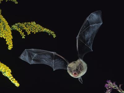 Little Brown Bat, Myotis Lucifugus, in Flight with its Mouth Open to Emit Echolocation Sounds by Joe McDonald