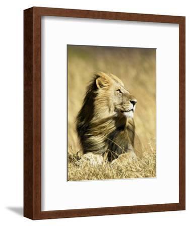 Male African Lion, Panthera Leo, Resting in Savanna Grasses, Masai Mara Game Reserve, Kenya, Africa