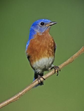 Male Eastern Bluebird, Sialia Sialis, North America. Missouri State Bird