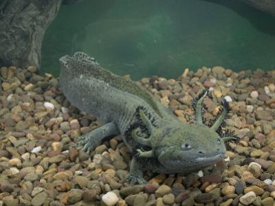 Mexican Axolotl, Ambystoma Mexicanum, a Neotenic Tiger Salamander Underwater, Mexico by Joe McDonald