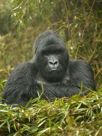 Mountain Gorilla, Gorilla Gorilla Beringei, Volcanoes National Park, Rwanda, Africa by Joe McDonald