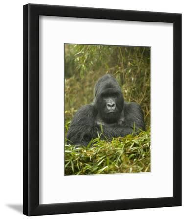 Mountain Gorilla, Gorilla Gorilla Beringei, Volcanoes National Park, Rwanda, Africa