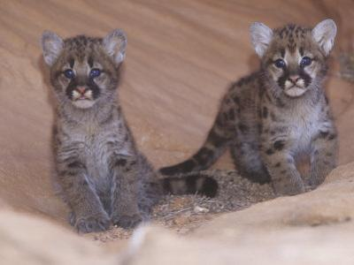 Mountain Lion, Cougar, or Puma Cubs, Felis Concolor, Western USA by Joe McDonald