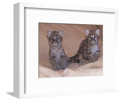 Mountain Lion, Cougar, or Puma Cubs, Felis Concolor, Western USA