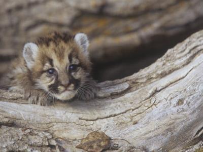 Mountain Lion, Cougar, or Puma, Felis Concolor, Cub, 6 Weeks Old, Western North America by Joe McDonald