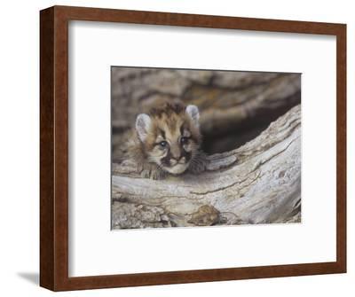 Mountain Lion, Cougar, or Puma, Felis Concolor, Cub, 6 Weeks Old, Western North America