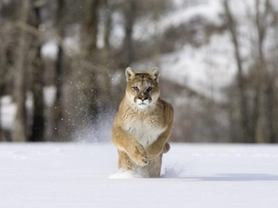 Mountain Lion (Felis Concolor), Running in the Snow, North America by Joe McDonald