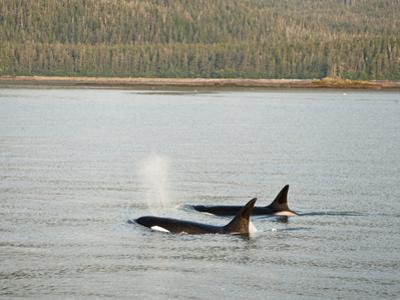 Orcas or Killer Whales (Orcinus Orca) Swimming Along the Coast of Southeastern Alaska, USA